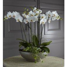 Luxury White Phalenopsis