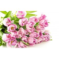 Light Pink Tulips