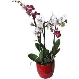 Orhidee Multiflorala