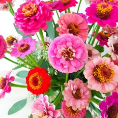 Bouquet Zinnia