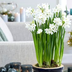 Christmas Paperwhite Narcissus