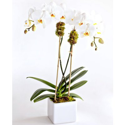 Double Stem Orchids