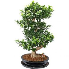 Ficus Ginseng | Online Plants | Delivery in Monza and Milan