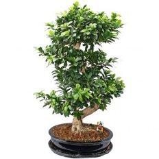 Ficus Ginseng | Piante Online | Consegna Monza e Milan