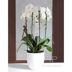 Luxury Cascade Orchids