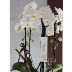 Luxury Cascade Orchids