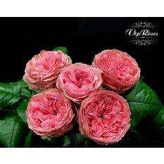 Pride of Jane Roses