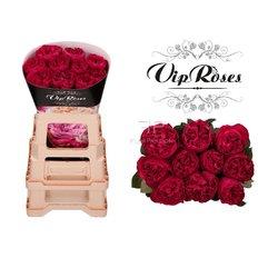 Raspberry Elegance Roses